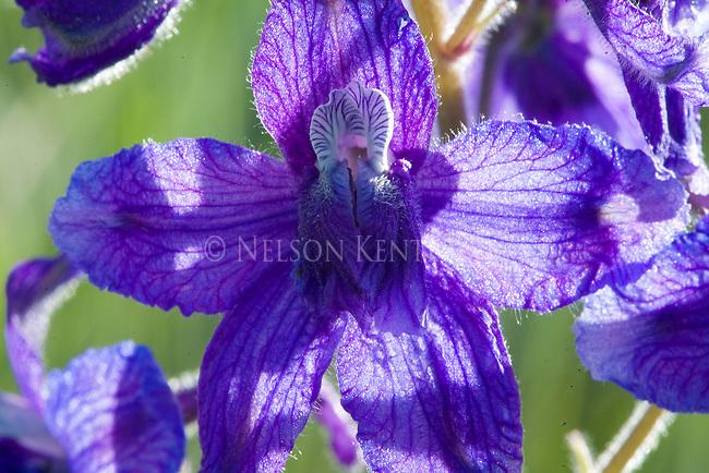 Larkspur wildflower close up