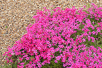 Phlox subulata 'Tamaongalei' creeping groundcover phlox in late April spring bloom pink flowers