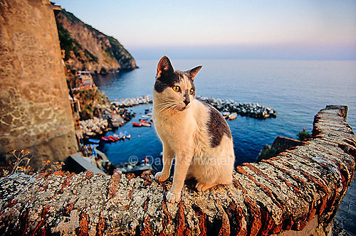 A coastal cat enjoys the sunset and view of the Mediterranean from Riomaggorie, Cinque Terre, Italy.