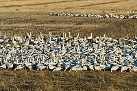 Snow Geese (Chen caerulescens) feeding in field, Lower Klamath NWR, Oregon/California.  Feb-March.