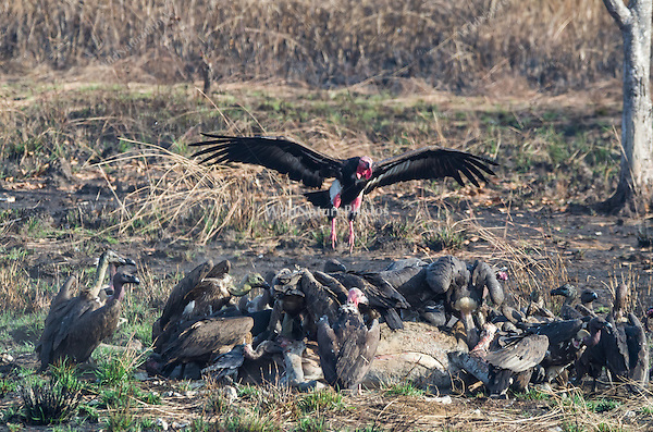 "Critially endangered Red-headed Vultures, White-rumped Vultures, and Slender-billed Vultures (Sarcogyps calvus, Gyps bengalensis, Gyps tenuirostris) feed on a dead cow at a ""vulture restaurant."" (Cambodia)"