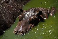 Hipopotamo.<br /> Especies en cautiverio en el centro ecologico de Sonora