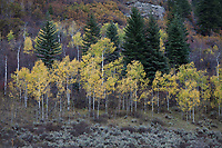 Aspen Trees in Golden Yellow Autumn Fall Colors, Routt National Forest, Colorado, USA.