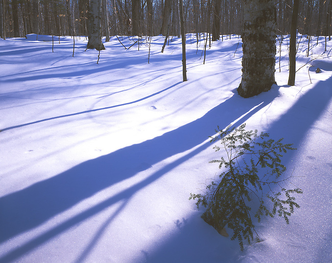 A Hemlock sappling sticks up through the snow in a winter forest at Door Bluff County Park in Door County, Wisconsin.