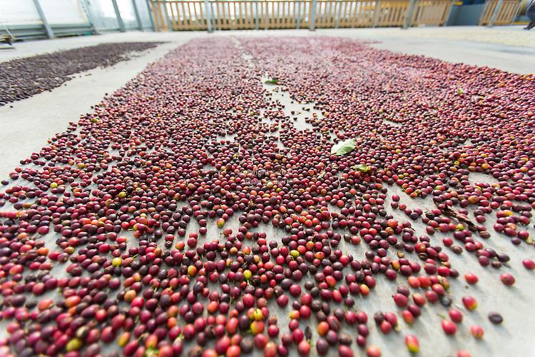 Coffee beans drying on a concrete slab at the Ka'u Coffee Mill, in the district of Ka'u on the Big Island of Hawaii, USA, America