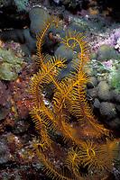 orange crinoid or golden crinoid or feather star, Davidaster rubiginosa (Echinoderm, Crinoidea) Bahamas, Caribbean (Western Atlantic Ocean)