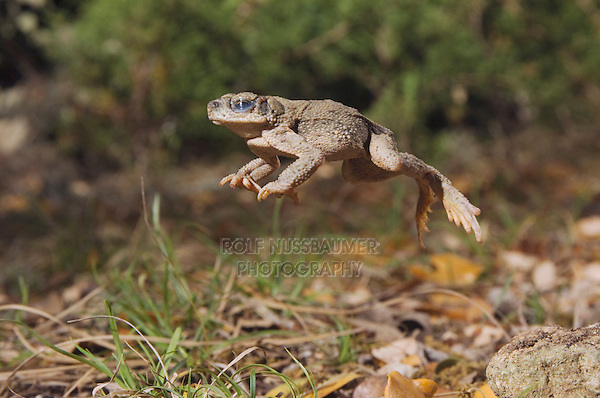 Red-spotted Toad, Bufo punctatus, adult leaping, Uvalde County, Hill Country, Texas, USA, April 2006