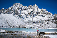 A hiker passes a bridge on Gokyo Lake with a yak standing nearby on a morning with fresh snow, Nepal.