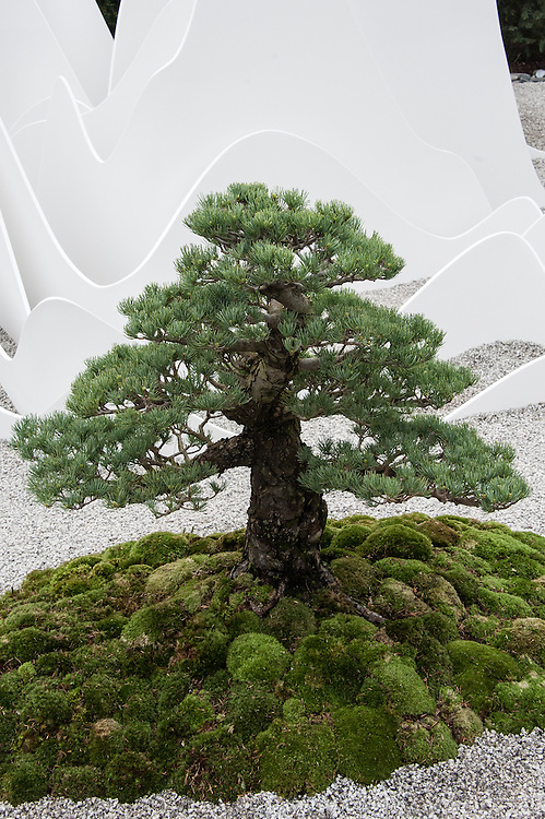 Bonsai Japanese White Pine (Pinus parviflora 'Pentaphylla Yatsubusa'). The Sound of Silence Garden, designed by Fernando Gonzalez, Silver Gilt medal winner, RHS Chelsea Flower Show 2013.