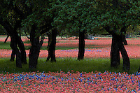Closeup of red Indian Paintbrush and Bluebonnets among Texas Live Oak Trees