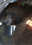 Nevada Department of Wildlife black bear biologist Carl Lackey prepares to release a bear west of Carson City, Nev., on Sunday, May 25, 2014. The 8-year-old female black bear was &quot;intercepted early in the cycle of conflict behavior&quot; and subjected to aversion training. <br /> Photo by Cathleen Allison