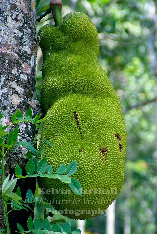 The jackfruit (alternately jack tree, jakfruit, or sometimes simply jack or jak; scientific name Artocarpus heterophyllus), is a species of tree in the Artocarpus genus of the mulberry family (Moraceae). It is native to parts of South and Southeast Asia, and is believed to have originated in the southwestern rain forests of India, in present-day Kerala, coastal Karnataka and Maharashtra.