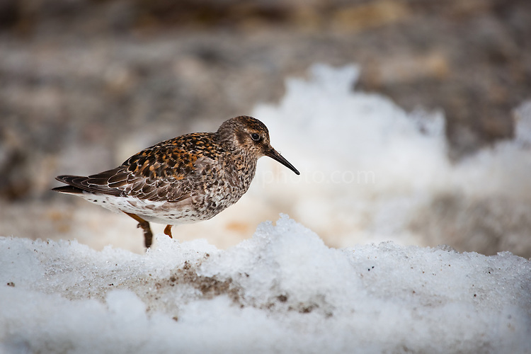 Purple sandpiper, caldiris maritma, on the beach, at Ny Alesund, Svalbard.