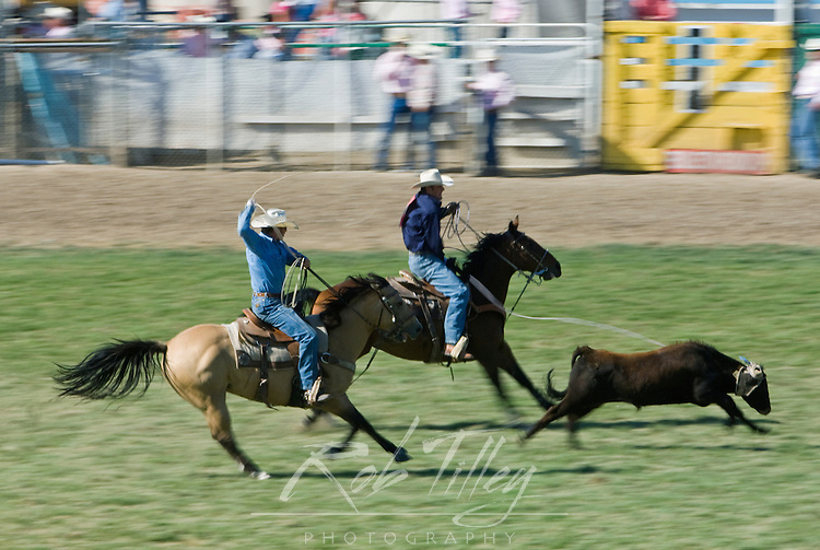 USA, OR, Pendleton, Pendleton Roundup, Steer Roping (Pan Motion Blur)