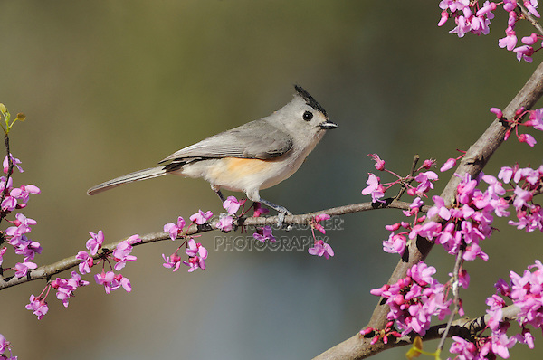 Black-crested Titmouse (Baeolophus atricristatus), adult on blooming on Eastern Redbud (Cercis canadensis), Dinero, Lake Corpus Christi, South Texas, USA