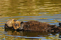 """Sea Otter (Enhydra lutris) mom and pup sleeping.  Young pups have light brown or yellowish fur called the """"natal pelage.""""  This fluffy fur helps the pup stay afloat before it learns the intricacies of swimming, and it will be completely replaced with dark brown adult fur by the time the pup is about three months old."""