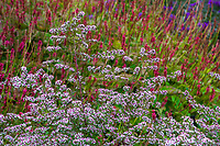 Symphyotrichum lateriflorum 'Lady in Black' Calico Aster (aka Aster lateriflorus Michaelmas Daisy) flowering in autumn mixed border in front of Persicaria amplexicaulis 'Firetail' Mountain Fleece or Red Bistort flowering perennial in Denver Botanic Garden