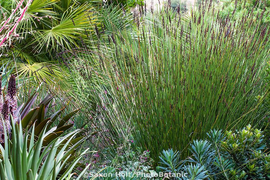 Restio, Chondropetalum tectorum, Small Cape Rush - foliage plant Sherry Merciari garden