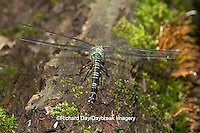 06370-00205 Swamp Darner (Epiaeschna heros) female ovipositing laying eggs on log in water, Marion Co., IL