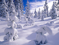 Pine trees with fresh snow. Santiam Pass. Willamette National Forest, Oregon