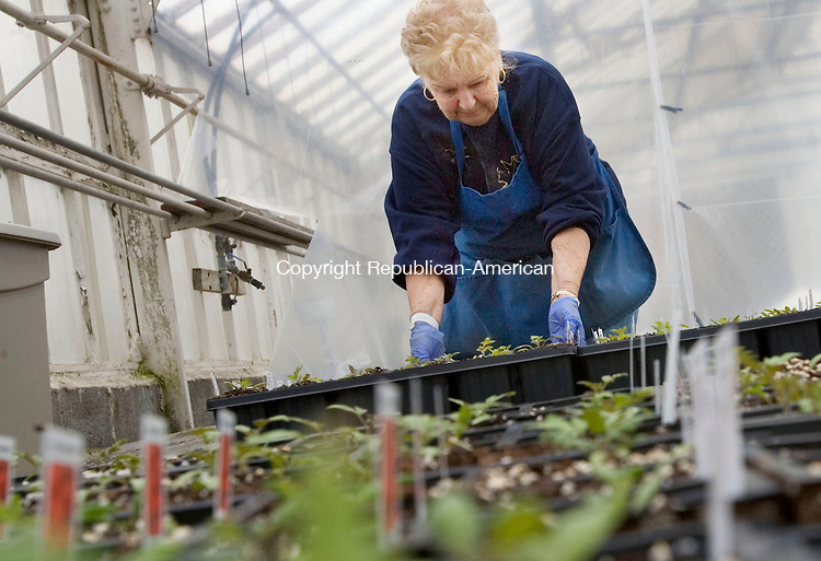 CHESHIRE CT. 07 April 2014-040714SV02-Carol DeRosa of Tower Farms plants Roma Tomato seedlings in the farms green house on Highland Avenue in Cheshire Monday. Soon gardeners across the state will be seeking plants for their summer gardens.<br /> Steven Valenti Republican-American