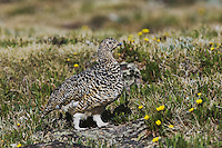 White-tailed Ptarmigan,Lagopus leucurus,adult female in summer plumage on alpine tundra, Rocky Mountain National Park, Colorado, USA
