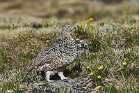 White-tailed Ptarmigan,Lagopus leucurus,adult female in summer plumage on alpine tundra, Rocky Mountain National Park, Colorado, USA