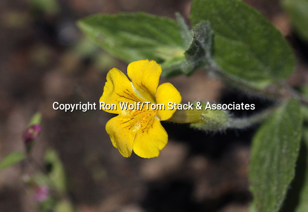 Musk Monkeyflower (Mimulus moschatus) a/k/a Musk Flower, Muskflower. Yosemite National Park. Mariposa Co., Calif.