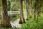 Cypress trees in Cypress Lake at Middleton Place Plantation (on the National Historic Register) in Charleston, SC