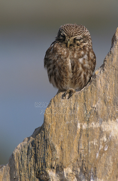 Little Owl, Athene noctua,adult on rock, Samos, Greek Island, Greece, Europe