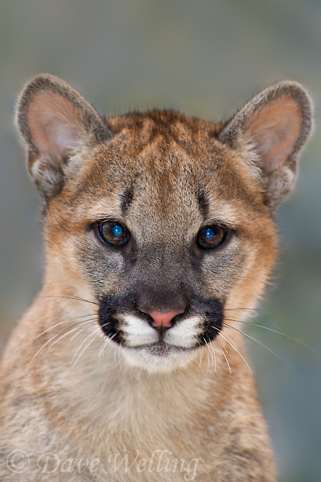 656320003 a captive wildlife rescue mountain lion cub wichita felis concolor at the wildlife waystation wildlife recovery and care facility in southern california
