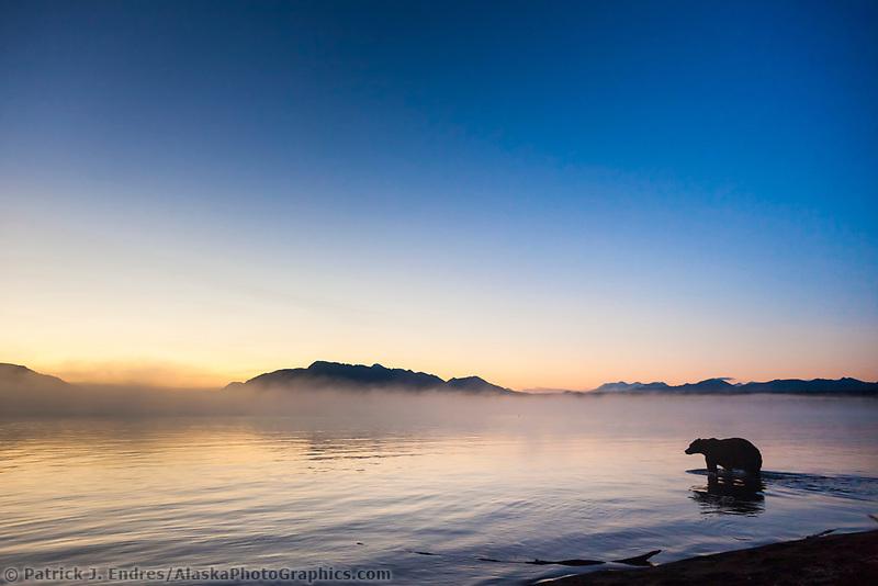 Brown bear wades into the morning waters of Naknek lake, Katmai National Park, southwest, Alaska.