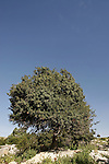 Israel, the Lower Galilee. Mastic Tree (Pistacia Lentiscus) in Hurbat Mamlach