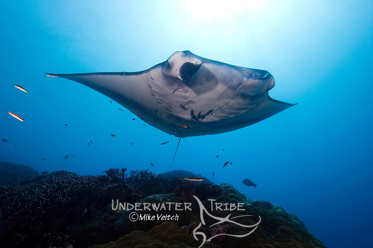 Manta ray hovers over a cleaning station, Manta birostris, Valley of the Rays, Goofnuw Channel, Yap, Federated States of Micronesia, Pacific Ocean