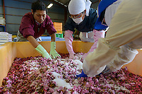 "Staff mixing yaezakura cherry blossom, salt and ""ume"" plum juice at a processing facility. Matsukawa-city, Nagano Prefecture, Japan, April 26, 2013. Farmers in the Matsukawa area of Nagano prefecture grow yaezakura cherry blossom to be used as an ingredient in Japanese cakes, sweets and other foods."
