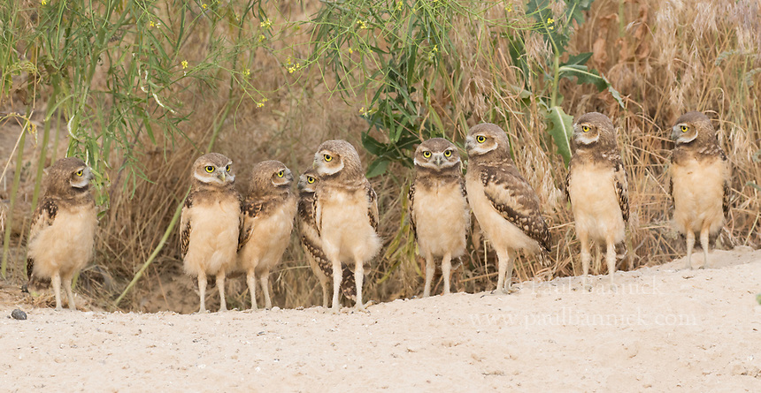 Nine juvenile Burrowing Owls engage one another outside of their burrow.