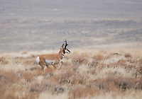 Pronghorn (American antelope), Antilocapra americana, at Hart Mountain National Antelope Refuge, Oregon
