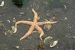 Alaska, starfish, Cruising the Southeast wilderness waterways on the Spirit of Discovery..Morning fog view in Bay of Pillars and then excursions to shore in durable inflatable boats to see bullwhip kelp, seashore life, seaweed, barnacles, forests of Tongass National Forest, and abandoned salmon cannery with its rusting equipment. .Photo copyright Lee Foster, 510/549-2202, lee@fostertravel.com, www.fostertravel.com..
