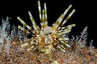 Echinothrix calamaris, Halm-Diademseeigel, banded sea urchin, Tulamben, Bali, Indonesien, Indopazifik, Indonesia, Asien, Indo-Pacific Ocean, Asia