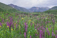 Mountains and wildflowers in alpine meadow, Elephanthead lousewort,Elephant's Head,Pedicularis groenlandica, Arrowleaf Ragwort, Ouray, San Juan Mountains, Rocky Mountains, Colorado, USA, July 2007