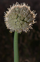 An Allium flower in full bloom, backlit by a setting sun so that it looks like it has a halo.  This bloom is from a flowering scallion (green onion).  Allium  blooms are inflorescences, clusters of individual flowers that all emerge from a common stalk.  More specifically they're umbels, since all the flowers attach at a common point.