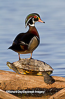 00715-08010 Wood Duck (Aix sponsa) male standing on Red-eared Slider (Trachemys scripta elegans) on log in wetland, Marion Co., IL