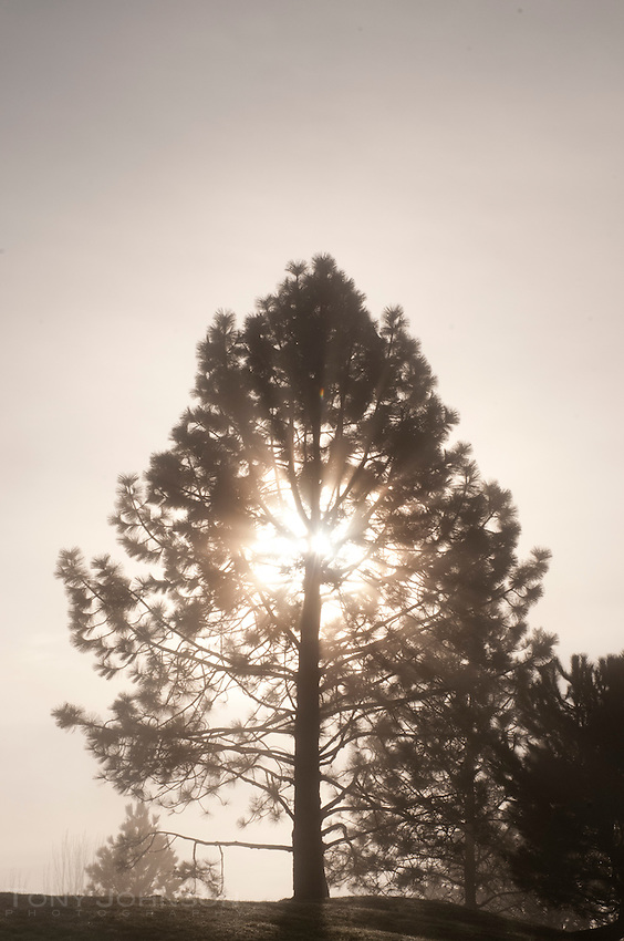 Pine Tree in Fog, Battle Point Park, Bainbridge Island