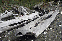 October 10, 2003 :   Large pieces of drift wood could be scene alone the shores of Guillemot Cove in Seabeck, Washington.