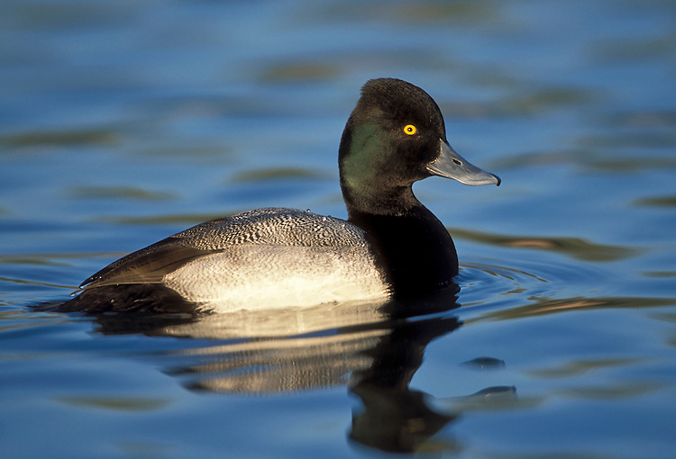 Lesser Scaup - Aythya affinis - male