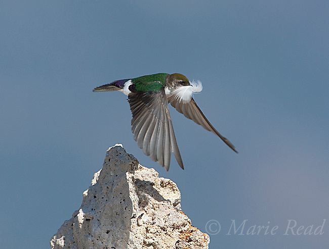 Violet-green Swallow  (Tachycineta thalassina), female in flight carrying a feather for nest lining,Mono Lake, California,USA
