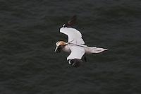 Basstölpel, Baßtölpel, im Flug, Flugbild, fliegend, mit Nistmaterial im Schnabel, Tölpel, Sula bassana, Morus bassanus, northern gannet
