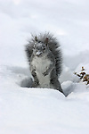 Western gray squirrel (Sciurus griseus) hunts for walnuts in the snow. .