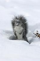 Western gray squirrel (Sciurus griseus) hunts for walnuts in the snow. .