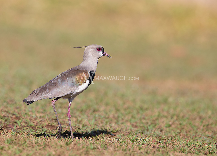 Southern lapwings were a common sight in western Brazil.